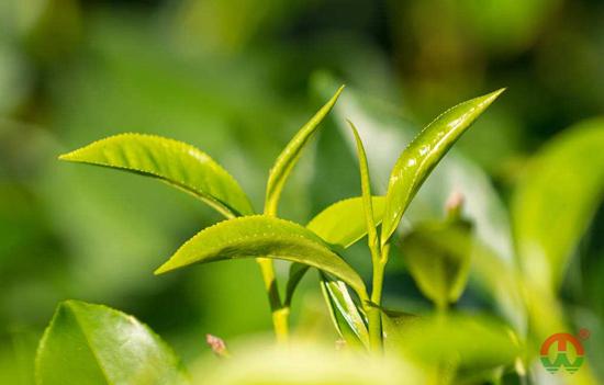 按茶叶采收季节分类