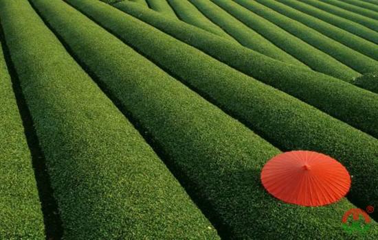 中国茶叶产地都有哪些?