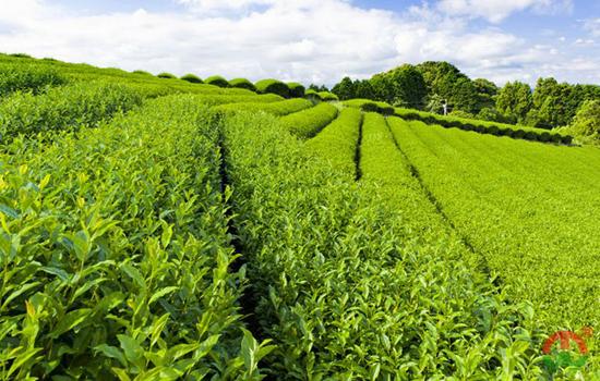 中国绿茶产地