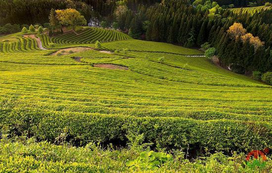 中国黄茶产地