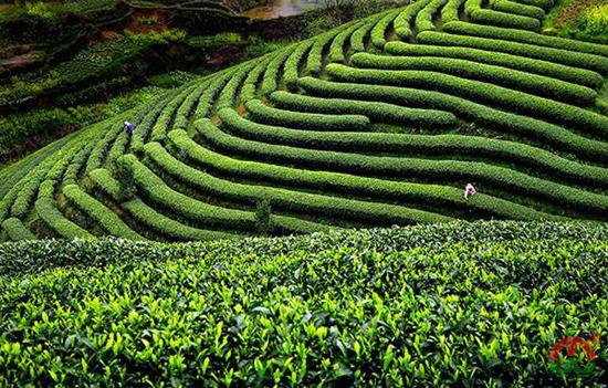 中国乌龙茶产区