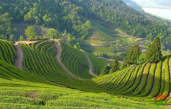 中国白茶产区